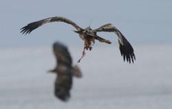 Imperial Eagle (Aquila heliaca)