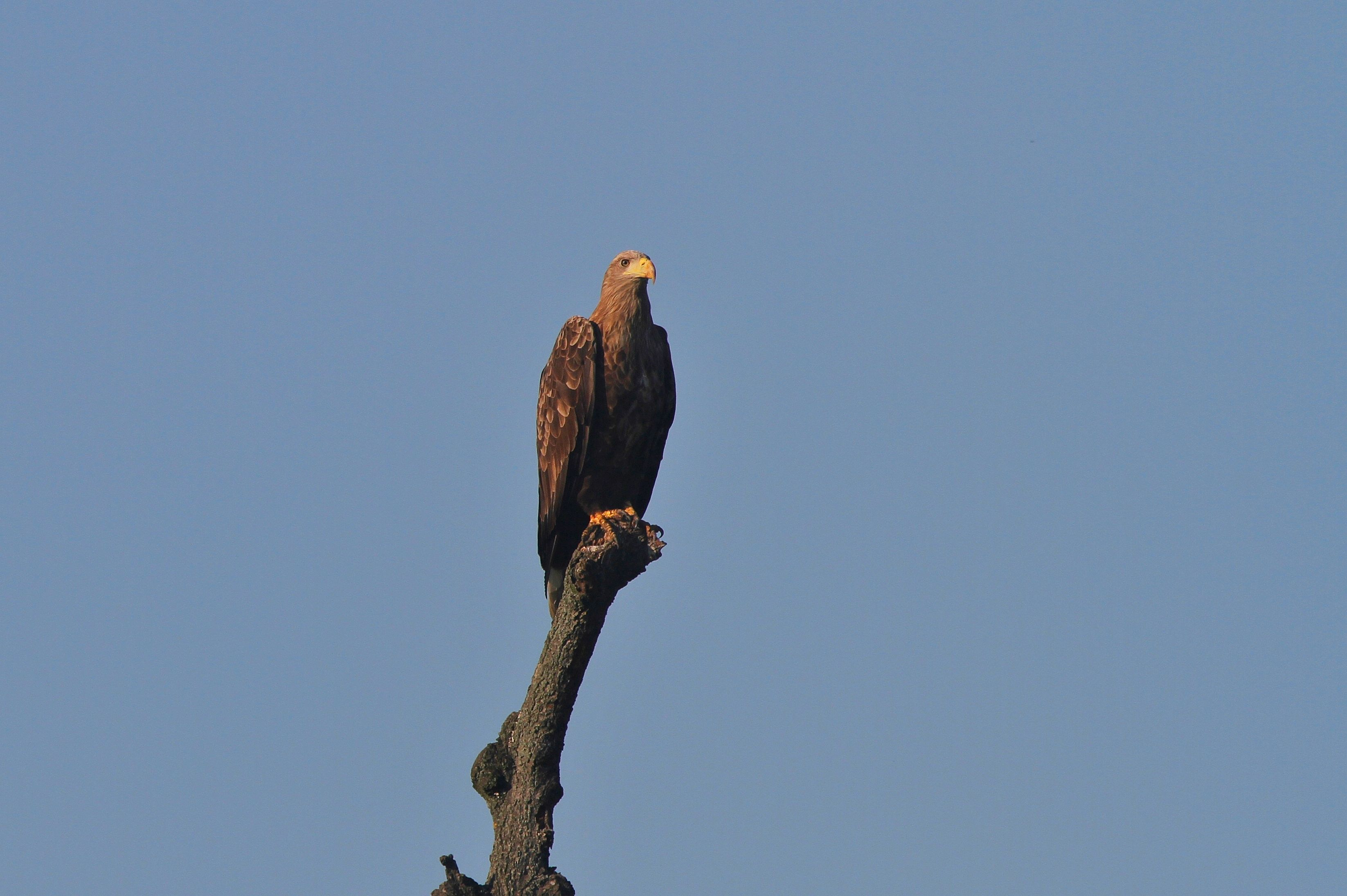 White Tailed Eagle (H. albicilla)