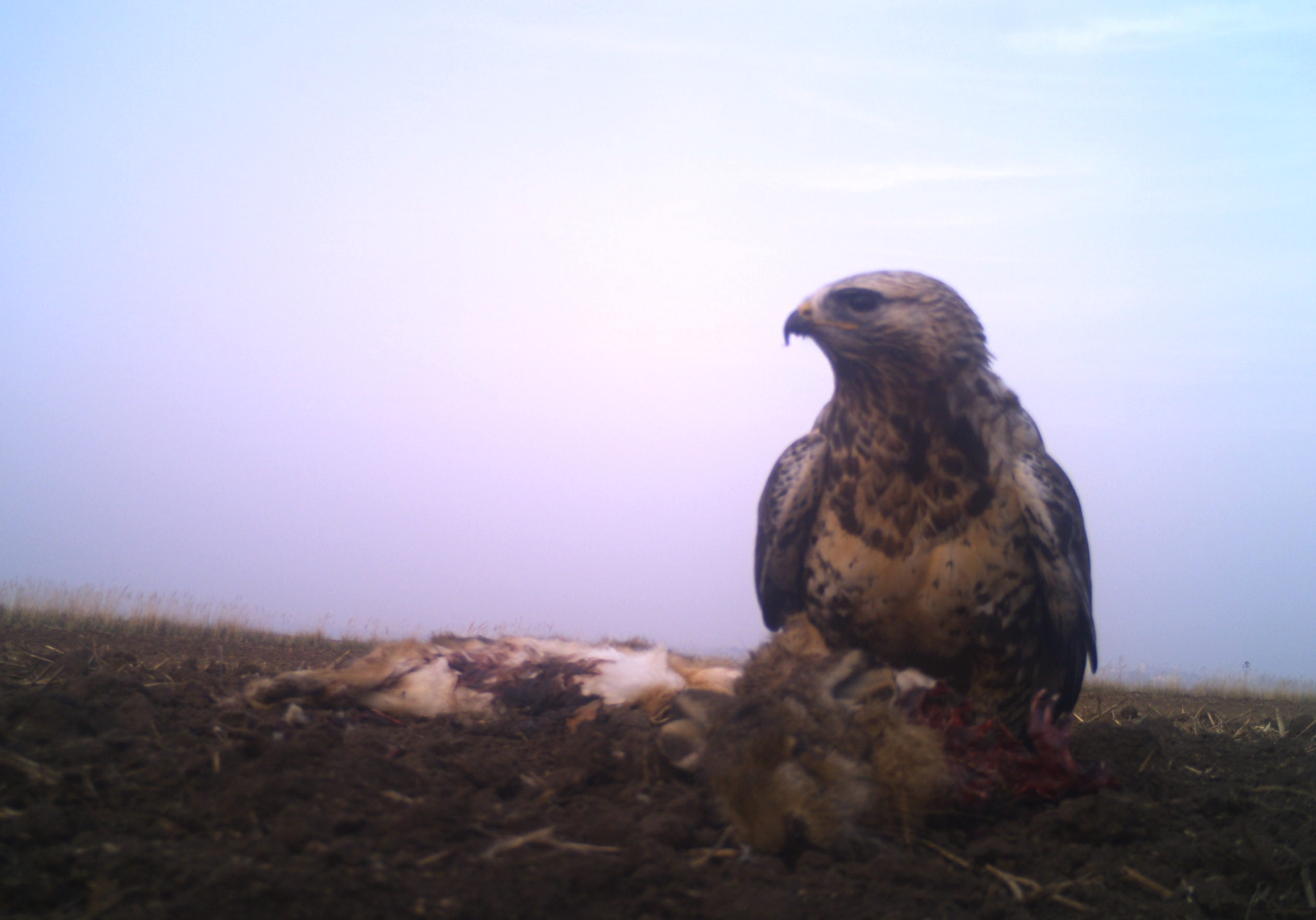 Rough legged Buzzard (Buteo lagopus)