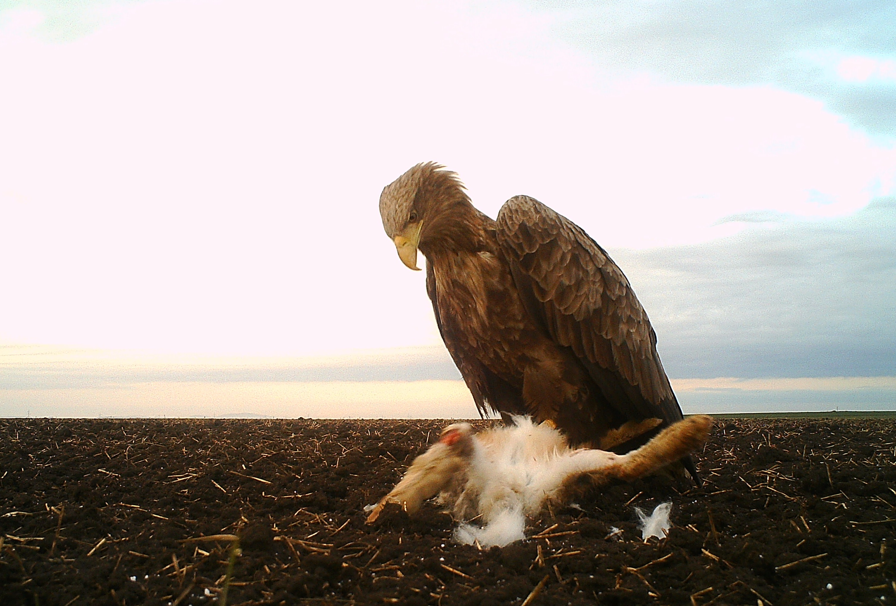 White Tailed Eagle (H. albicilla)