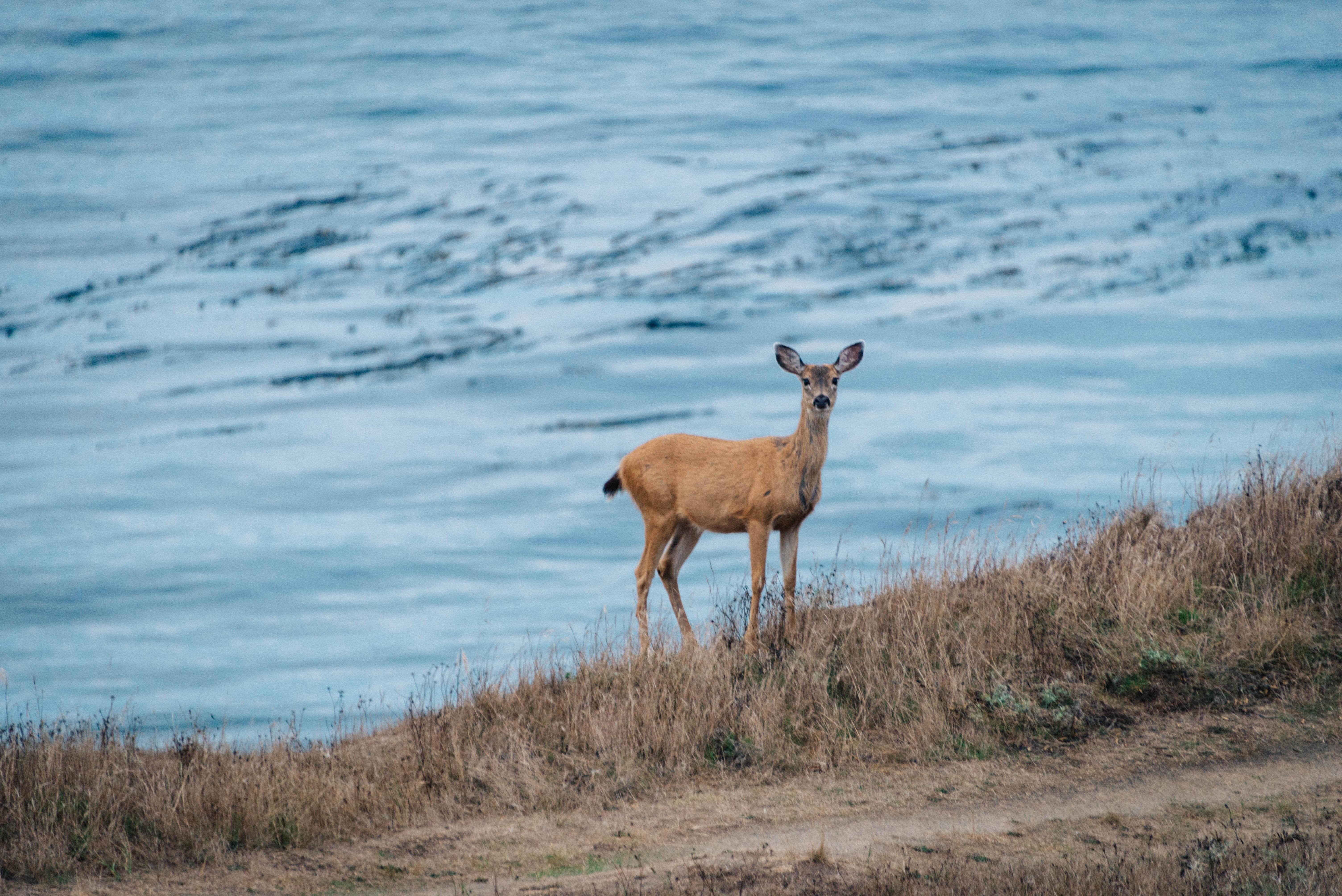 Coastal Deer