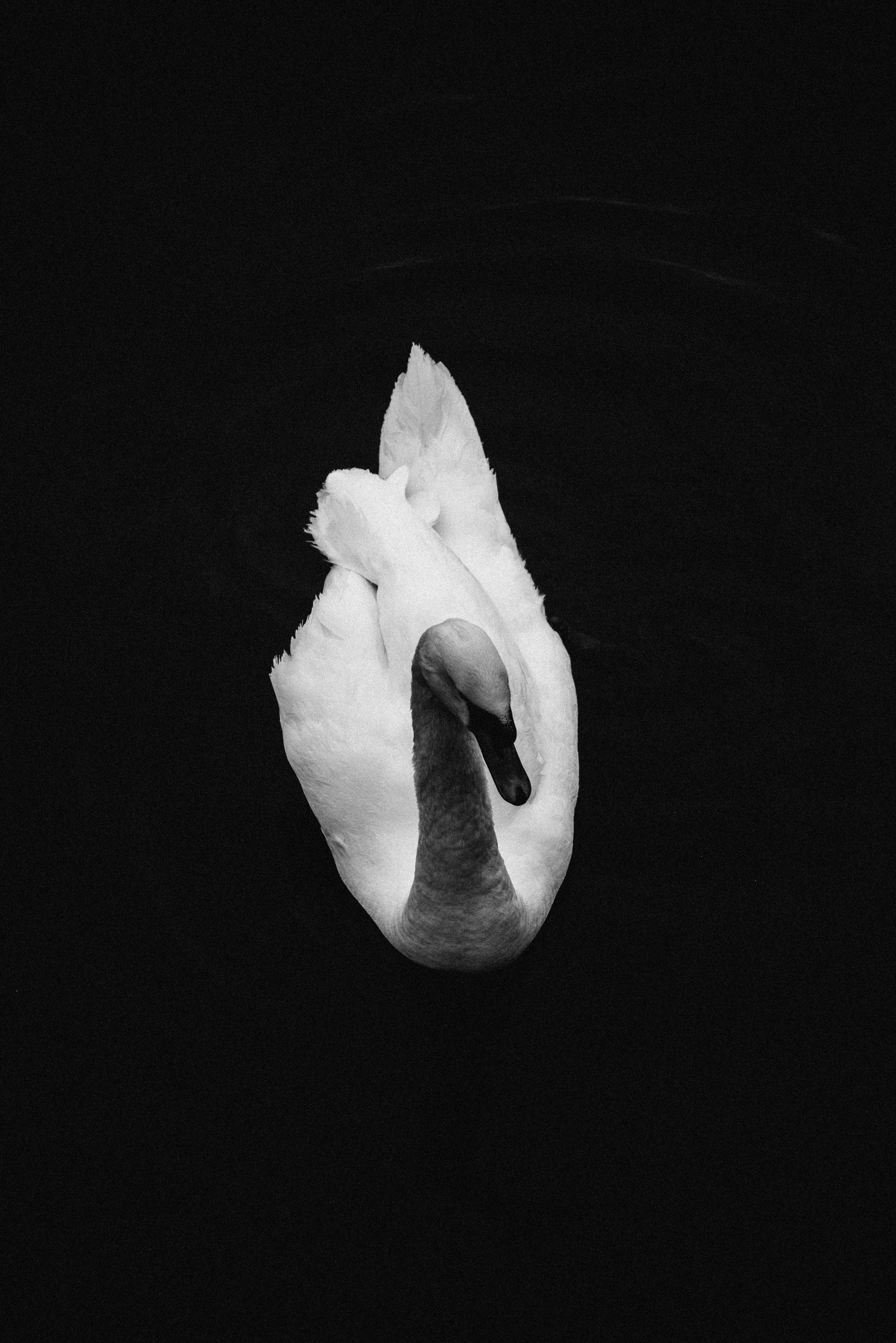 Stockholm swan