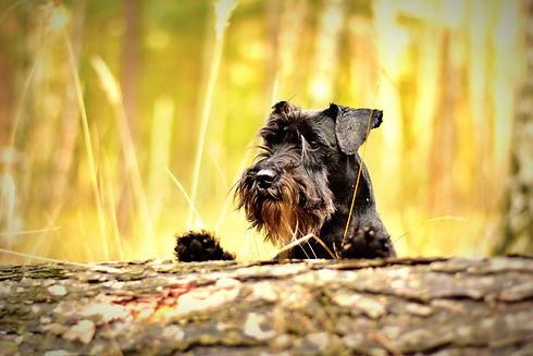 Canva - Miniature Schnauzer Dog.jpg
