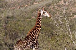 Giraffe 6.jpg