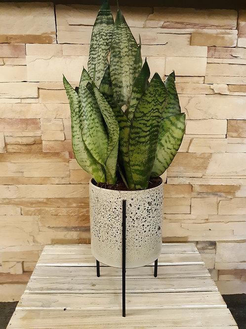 Snake plant in ceramic stand