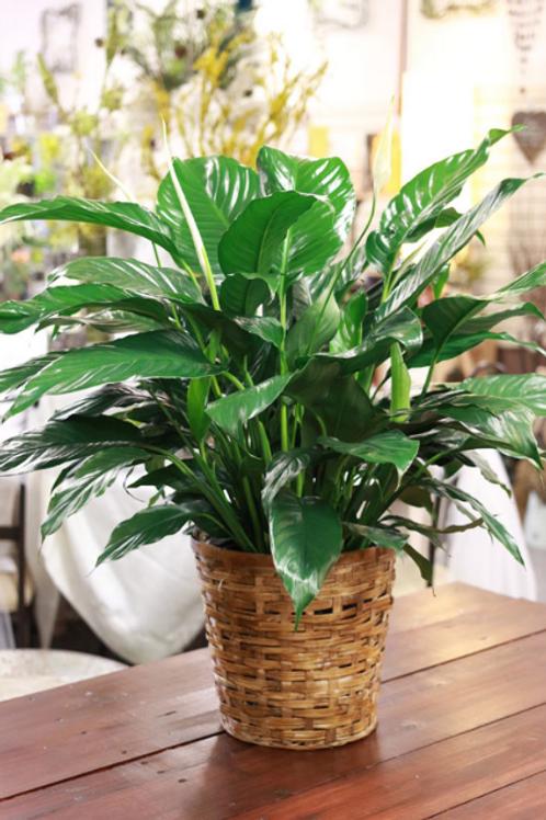 "8"" Green Plant"