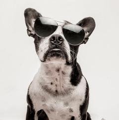 Petey the Boston Bull Dog