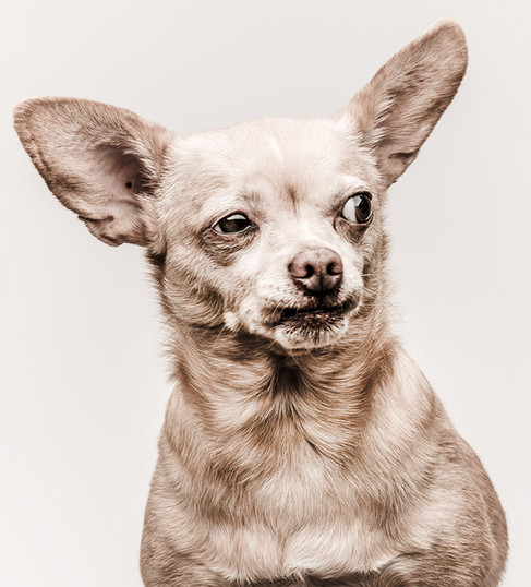 Side Eye Chihuahua