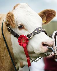Wroxall Heifer pircture.jpg
