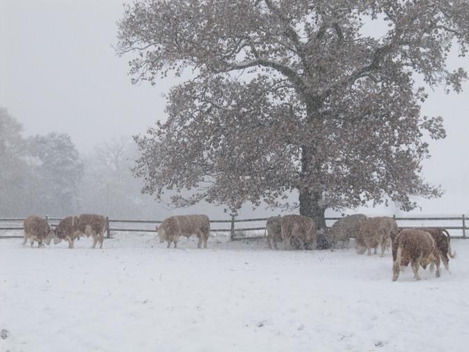 BullsExercising in snow Dec 2010.jpg