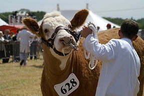 Cow at a show.JPG
