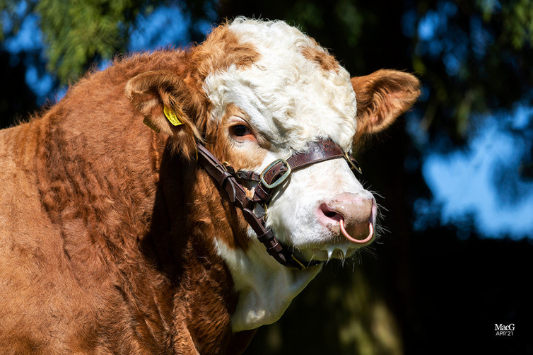 Wroxall Bull