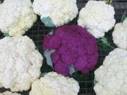 cauliflower garden of weedin.jpg