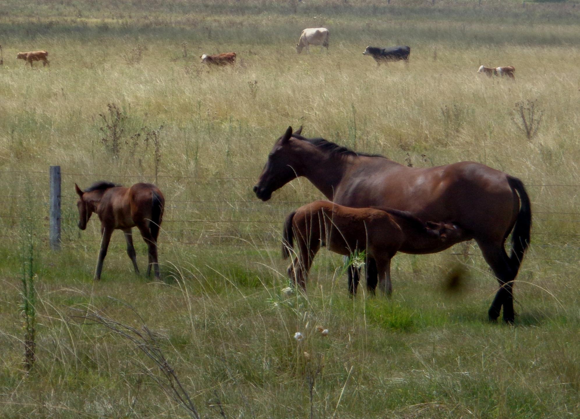 Twin foals Dorothy Cox