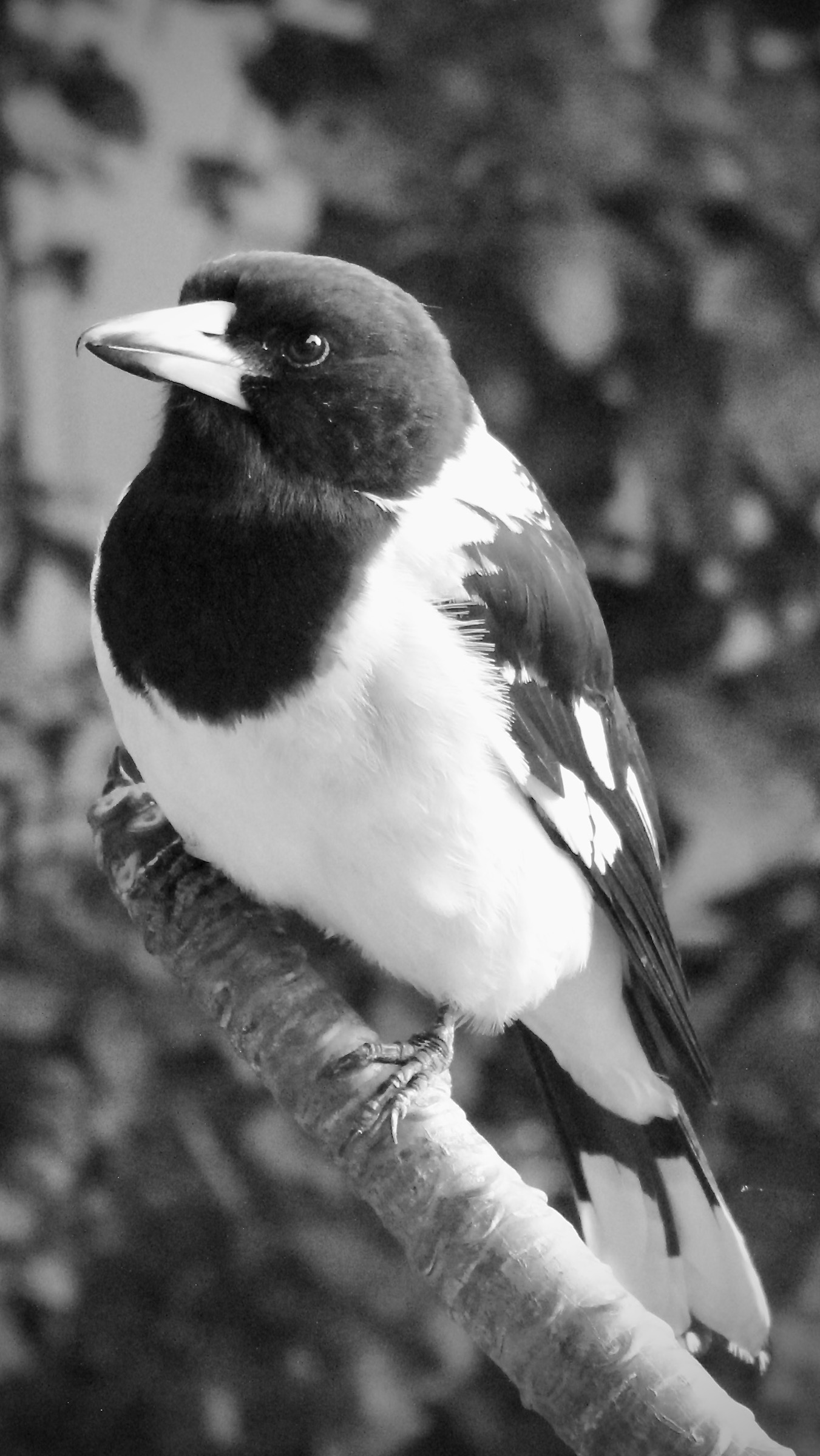 Pied Butcher Bird.Tess