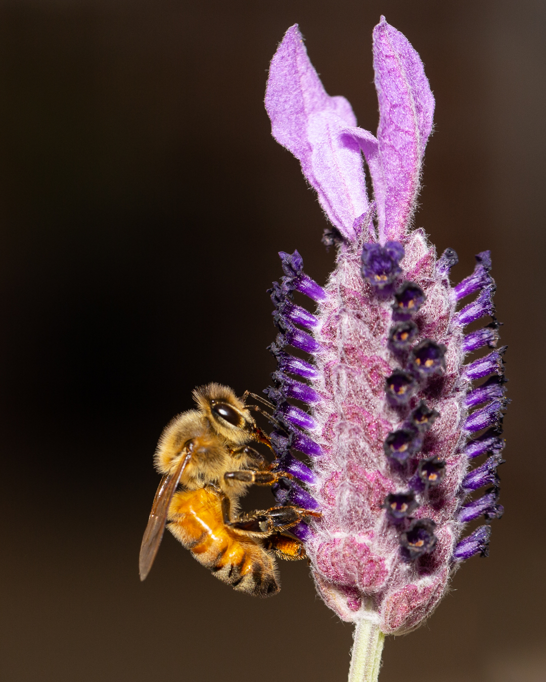 1st Digital Colour Lavender Bee