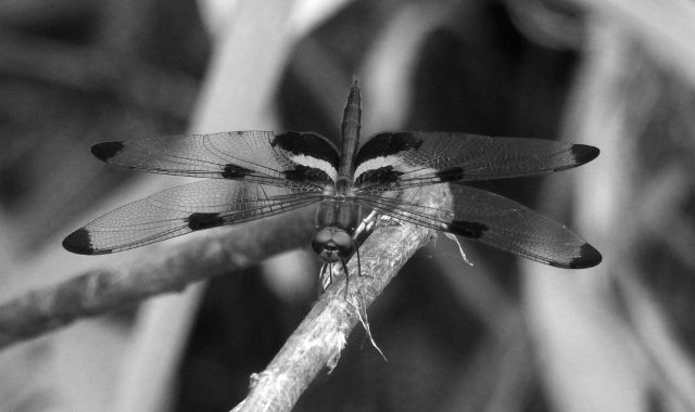 Damsel Fly - D Handley.jpg