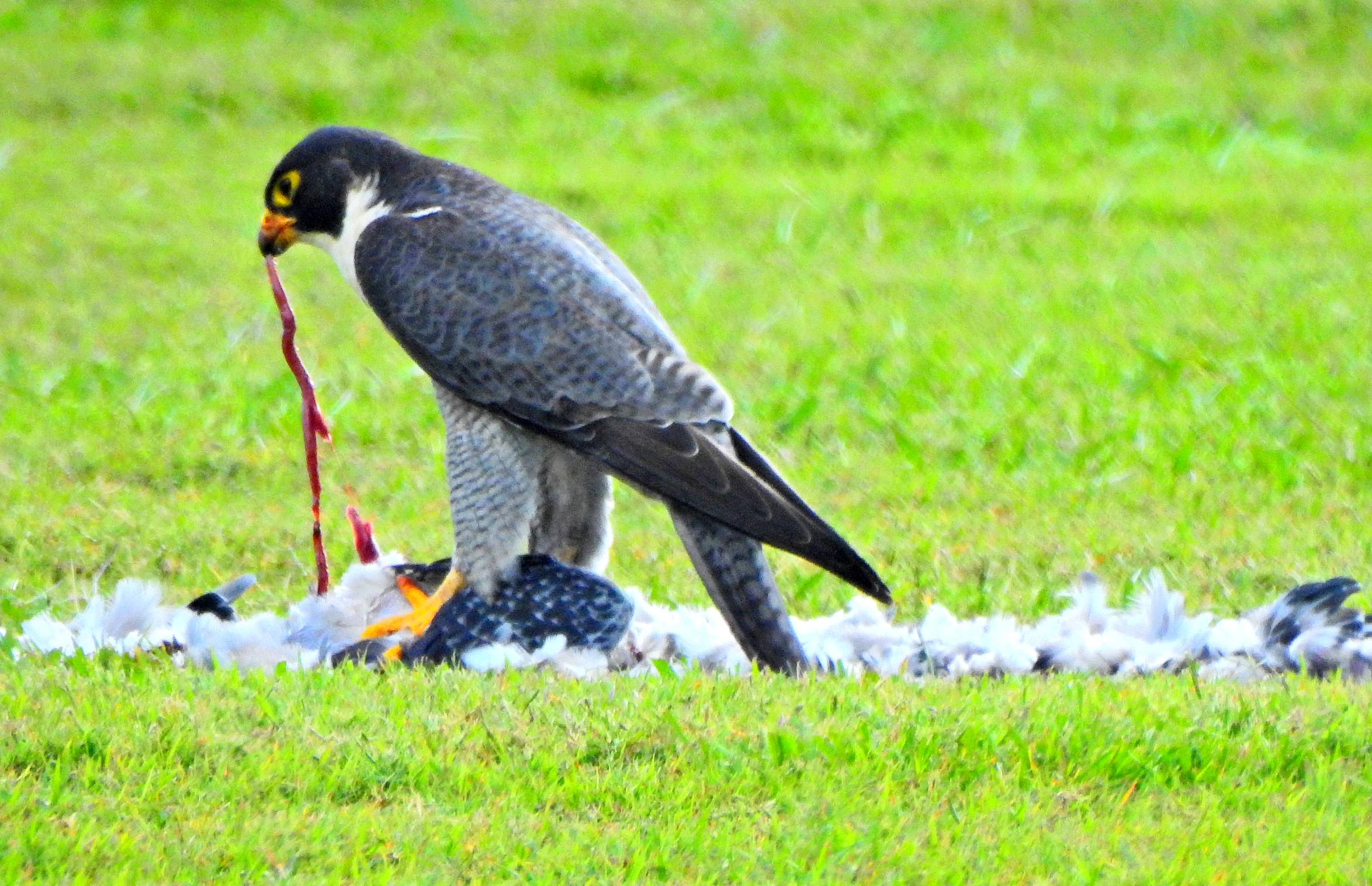 Peregrin Falcon lunchtime
