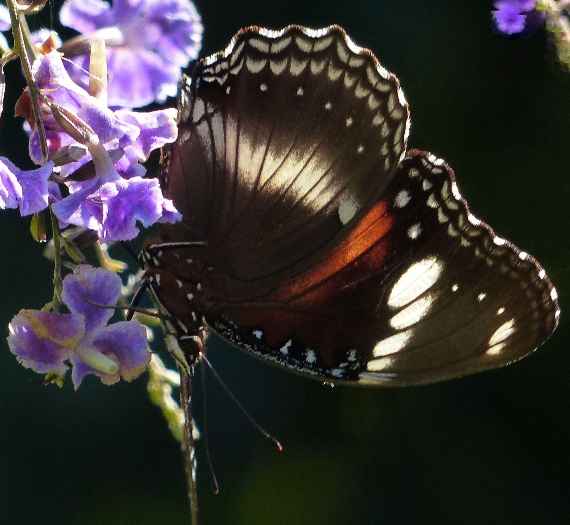 butterfly on geisha girl flowers