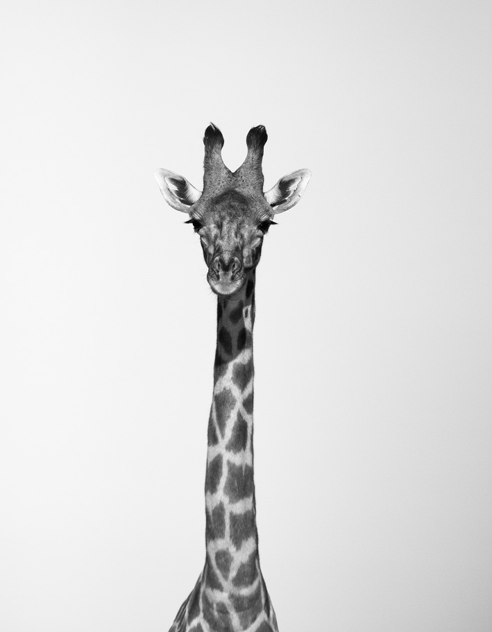 giraffe Marie