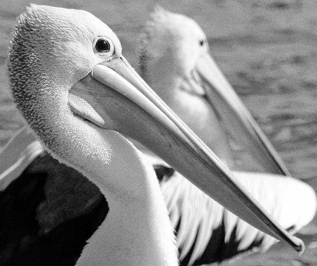 Pelicans - B Crockett.jpg