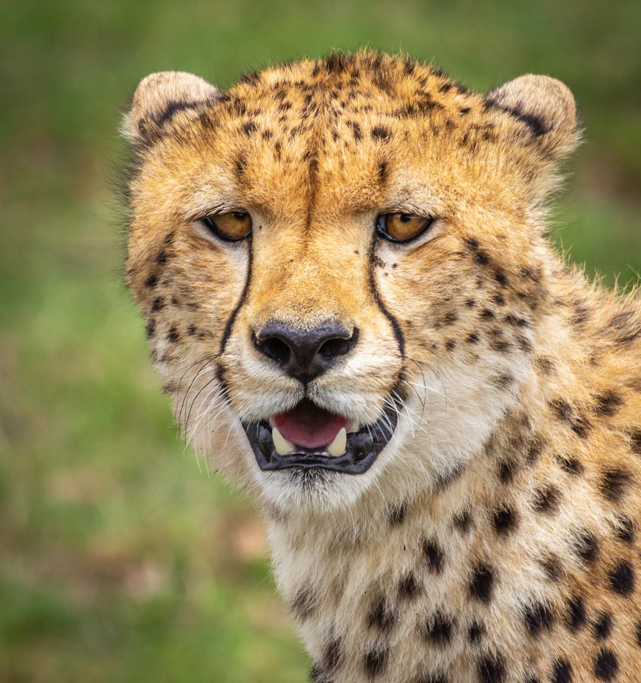 Masaai Cheetah.Marie