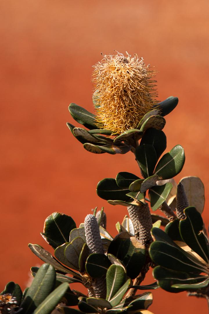 Banksia Denise