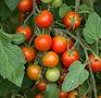 Tomates grappes.jpg
