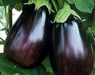 plant aubergine.jpg