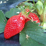 fraise Gariguette de Yannick Ferronato
