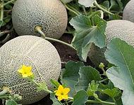 Plant de melon.jpg