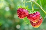 dja_fraise-branche_as.jpg