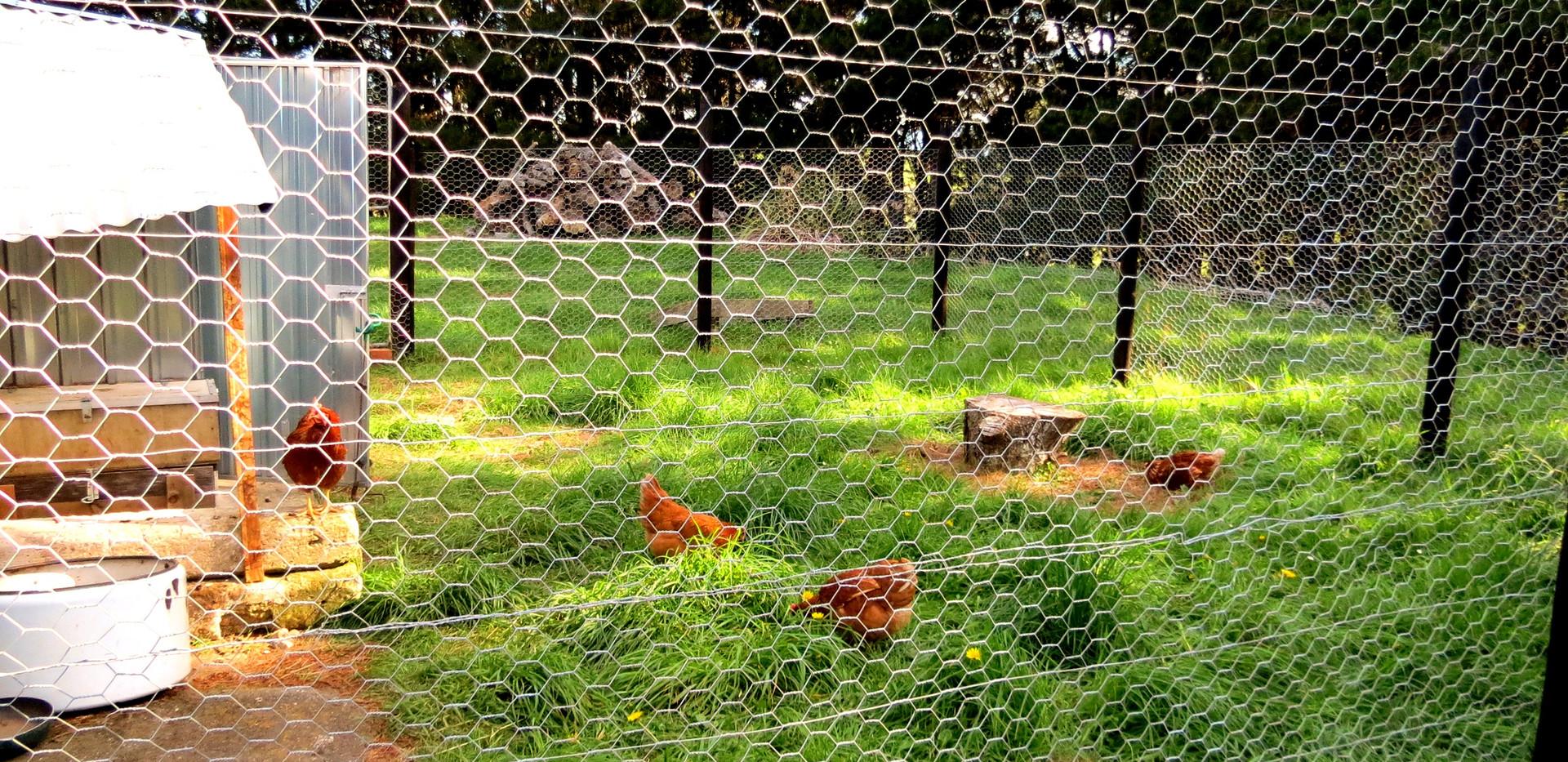 Chicken fencing_edited.jpg