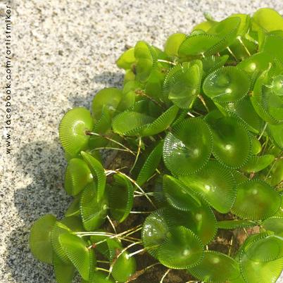 Sea Plant