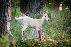 White White Tail Deer Fawn