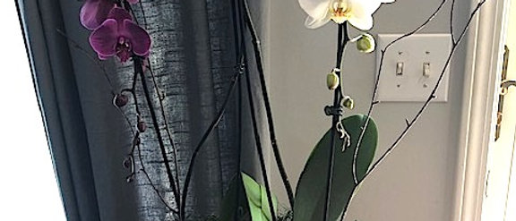 Lush Orchid Plant in Basket
