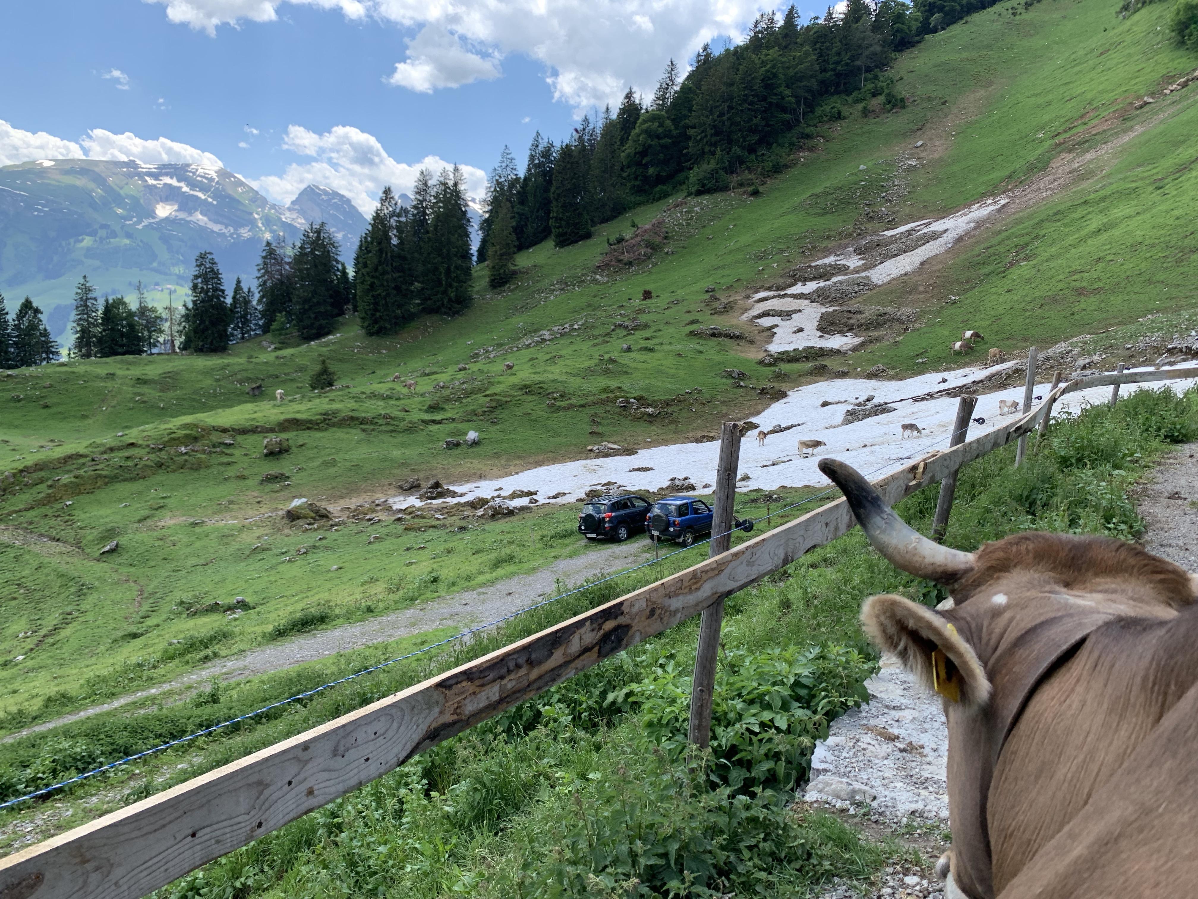 cow look
