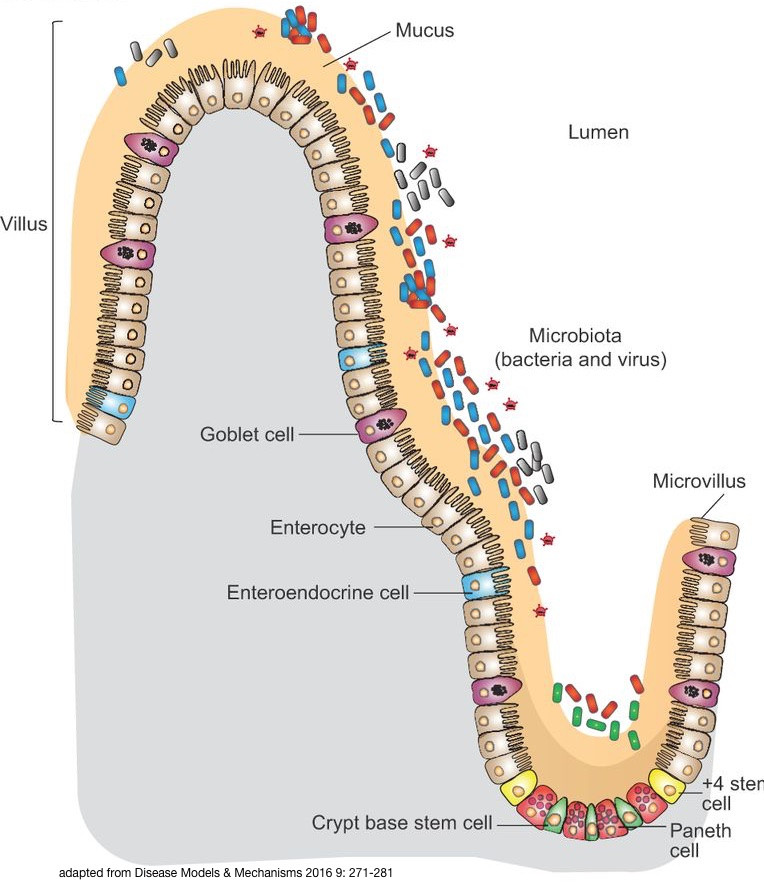 stomach lining and microbes