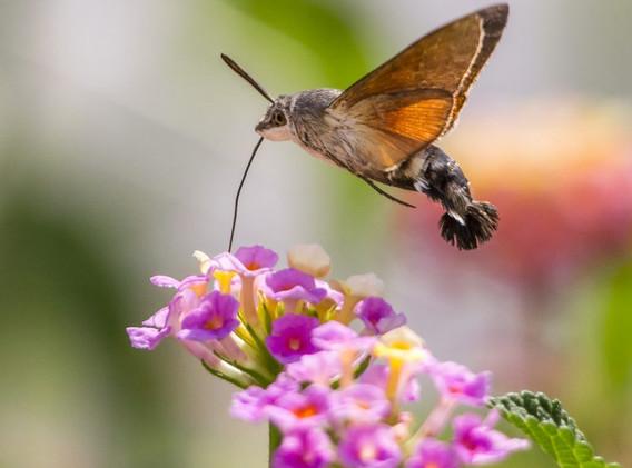 Hummingbird hark moth