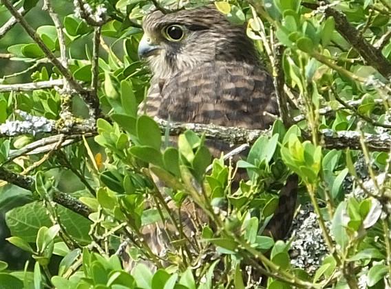 Close up of branching Kestrel