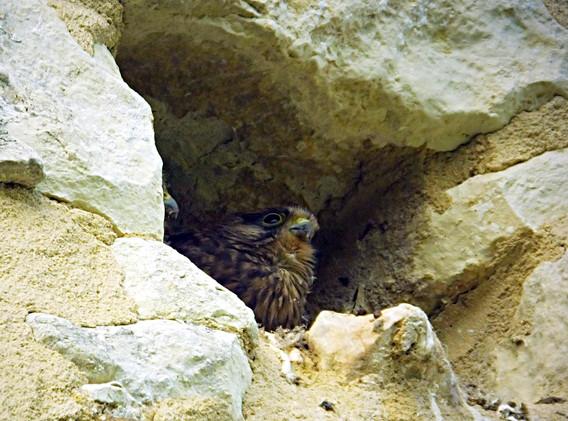 Kestral nesting in wall of gîte
