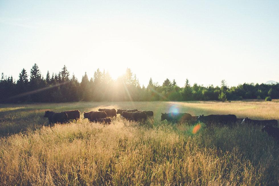 Cows West.jpg