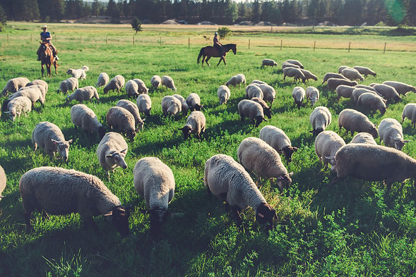Ewes face on.jpg