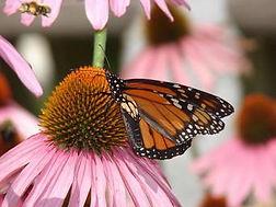 butterfly_monarch_coneflower_pink.jpg