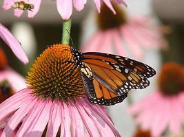 butterfly_monarch_coneflower_pink.jpg