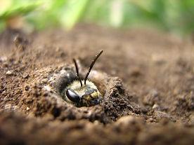 Бджола-галіктіда,_що_визирає_зі_свого_гн
