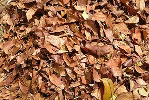 Leaf Litter, Wikicommons s copyright.jpg
