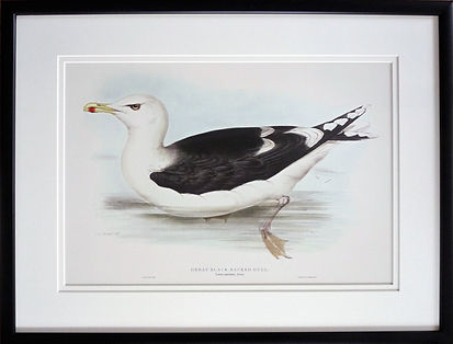 Victorian ornitholigical illustration with simple black picture frame, off white double mount, non reflective glass, made in Cornwall by Handmade Framing and Gallery, Bude.