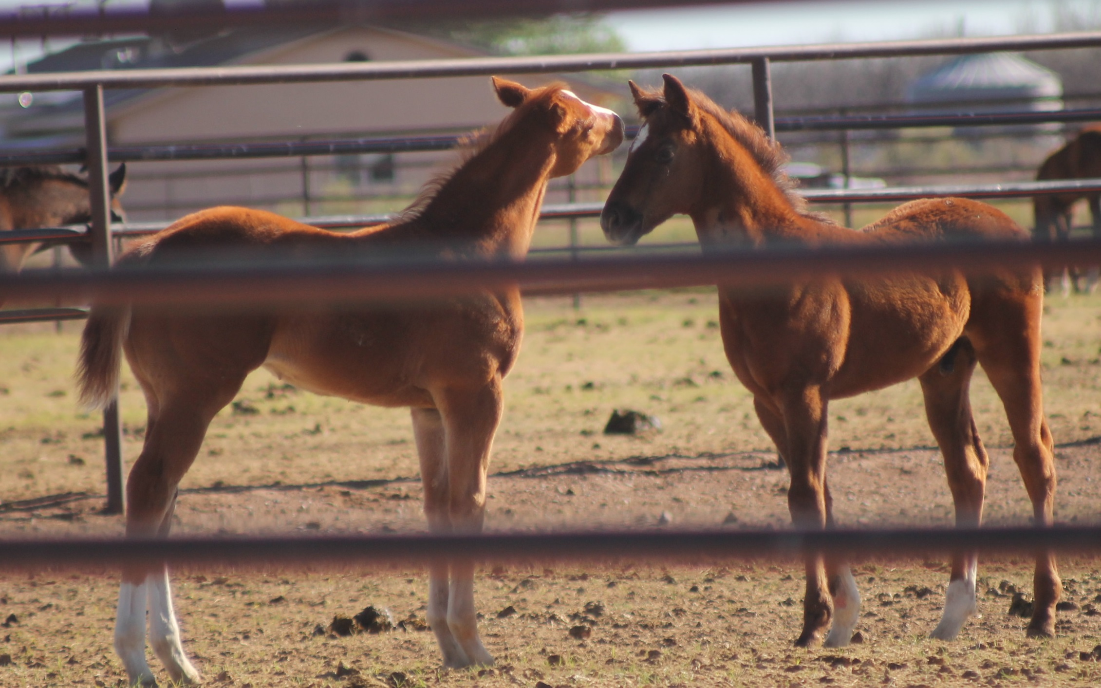 Best Friends - FMF filly left and BDC (Ravine) right