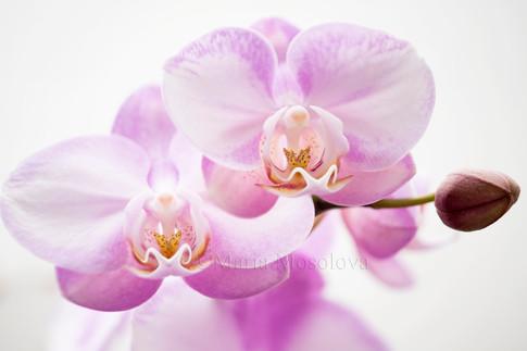 Phalaenopsis Wen Ming Rainbow